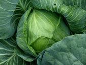 Green cabbage head — Stock Photo