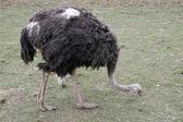 Ostrich — Stockfoto
