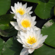 Water lilies in a pond - Stock Photo