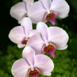 Orchids — Stock Photo #5726131