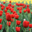 Tulips — Stock Photo #5909363