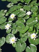 Lírios de água em uma lagoa — Fotografia Stock