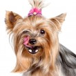 Yorkshire terrier dog licking its nose with his tongue — Stock Photo