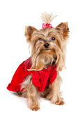 Yorkshire terrier dog in red clothes — Stock Photo