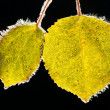 Aspen leaves covered with frost — Stock Photo