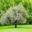 Stock Photo: Solitary blooming appletree