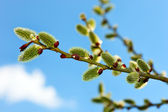Twig of pussy willow against blue sky — Stock Photo