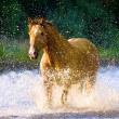 Horse runs gallop in water in summer time — Stock Photo