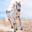 Appaloosa pony runs gallop in dust - Stock Photo