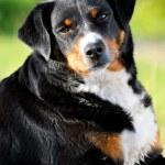 Appenzeller sennenhund dog portrait in summer — Stock Photo