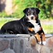Appenzeller sennenhund dog portrait in summer — Stockfoto