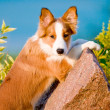 Portrait of young border collie puppy in sunset — Stock Photo #6534721