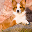 Portrait of young border collie puppy in sunset — Stock Photo