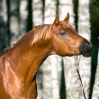 Chestnut arabian horse stallion portrait — Stock Photo