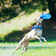 Stock Photo: Whippet dog and frisbee