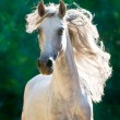 White horse runs gallop front - Stock Photo