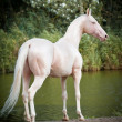 Cremello Akhal-teke stallion portrait — Stock Photo