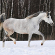 Stock Photo: Beautiful white Tersk horse runs on snow