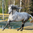White andalusian stallion runs gallom on the meadow - Stock Photo