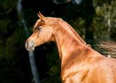 Chestnut arabian horse stallion portrait — Stock Photo