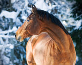 Bay Trakehner horse portrait in winter — Stock Photo