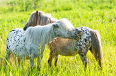 Two appaloosa ponyes on the meadow — Stock Photo