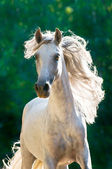 White horse runs gallop front — Stock Photo