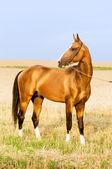 Golden akhal-teke stallion portrait in summer — Stock Photo