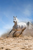 Arabian horse runs gallop in the dist — Photo