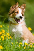 Border collie puppy in flowers — Stock Photo