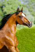 Bay arabian horse portrait in motion — Stock Photo