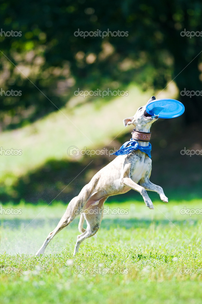 Whippet dog and fly frisbee — Stock Photo #6534897