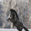 Stock Photo: Black Kladruber horse