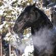 Black Kladruber horse portrait in winter — Stock Photo