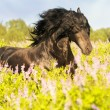 Stock Photo: Black friesihorse on meadow