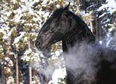 Black Kladruber horse portrait in winter — Stock Photo