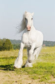 White Shire horse runs gallop on the meadow in summer — Stock Photo