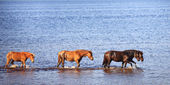 Horses in water of lake — Stock Photo