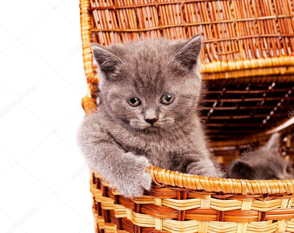 两个可爱的小小猫,坐在篮子里— 照片作者 lanakhvorostova