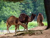 Three camels — Stock Photo
