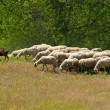 Herd of sheep and goats — Stock Photo