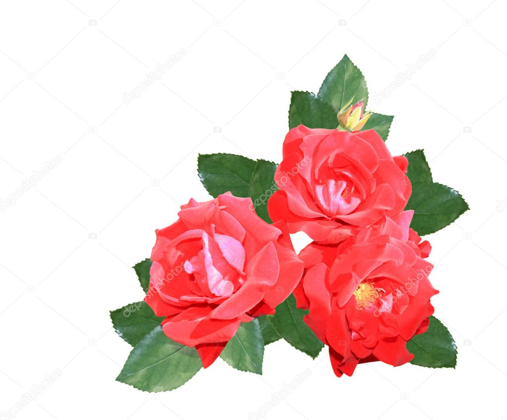 Three red roses isolated on a white background  Stock Photo #6642623