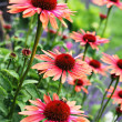 Echinacea flowers — Stock Photo #6039219
