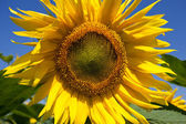 Large blooming sunflower — Stock Photo