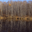Autumn birch grove reflected in the water — Stok fotoğraf