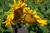Two blooming sunflowers bowed to each other — Stock Photo