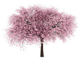árbol de cereza amarga aislado sobre fondo blanco — Foto de Stock