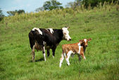 The cow and bull-calfe on the grass — Fotografia Stock
