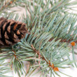 Christmas branches with fir cone isolated on white background — 图库照片