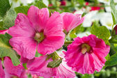 Blooming pink mallow, hollyhocks — Stock Photo